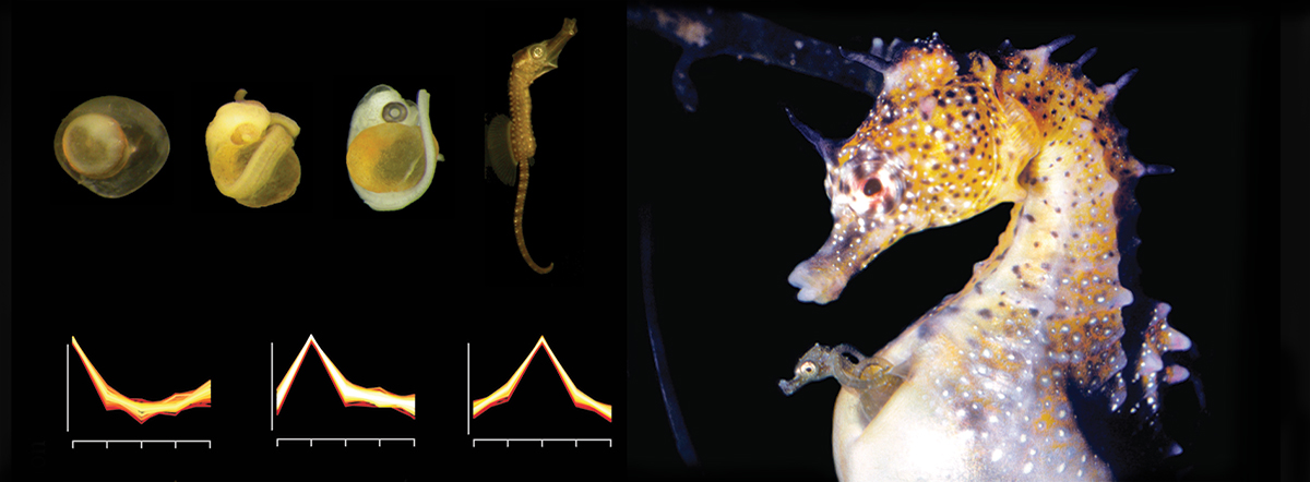 Embryonic stages of a seahorse graphic