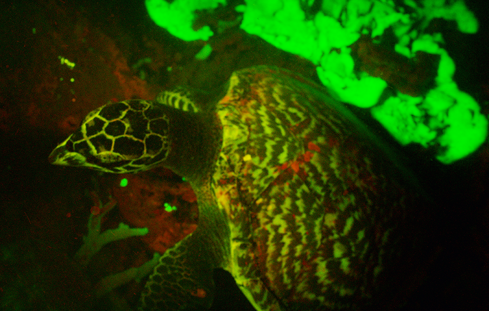 Glowing-Turtle
