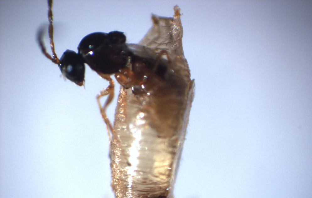 insect emerging from pupa